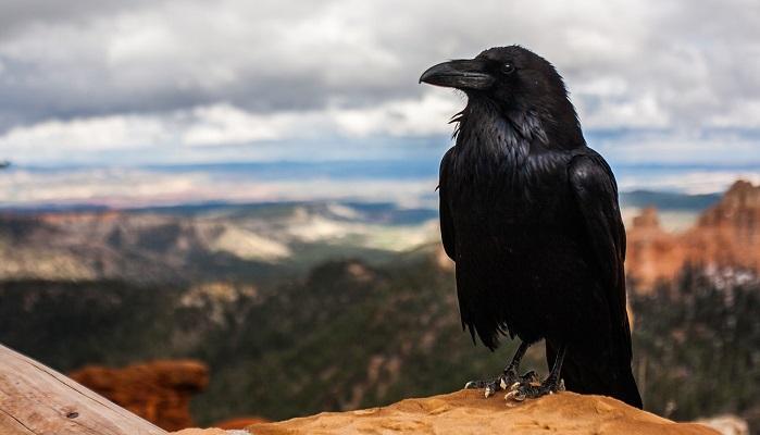 Raven Crow Spirit Animal Totem Symbolism And Meaning