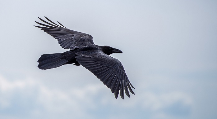 Raven, Crow – Spirit Animal, Totem, Symbolism and Meaning