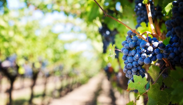 Biblical Meaning of Grapes in Dreams – Interpretation and