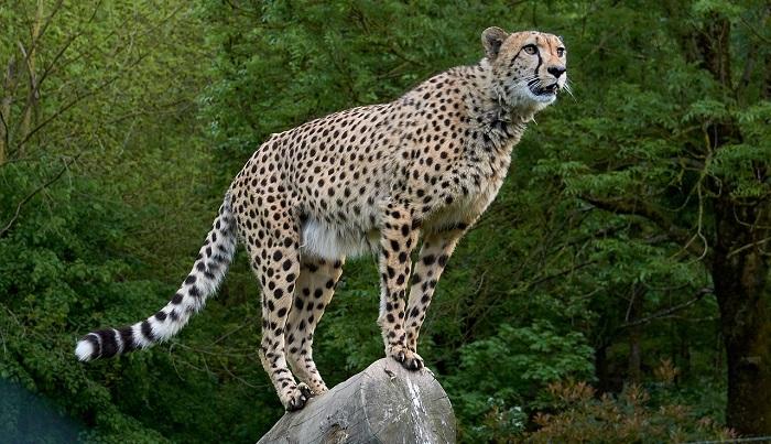 Cheetah – Spirit Animal, Totem, Symbolism and Meaning