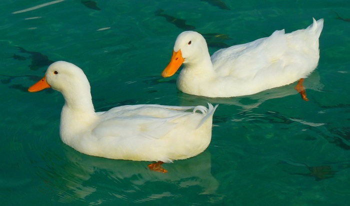 Dreams About Ducks – Interpretation and Meaning