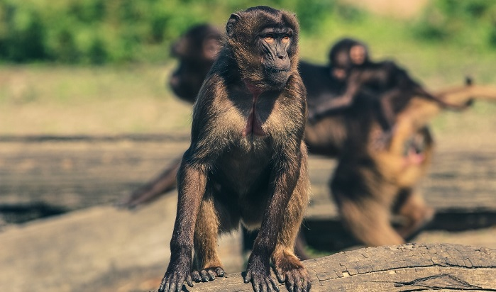 Dreams About Monkeys – Interpretation and Meaning