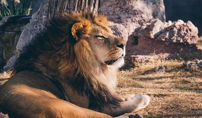 Lion Spirit Animal Totem Symbolism And Meaning