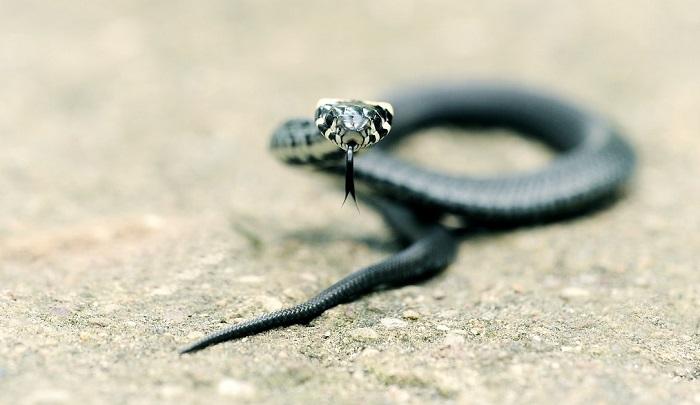 Snake – Spirit Animal, Totem, Symbolism and Meaning