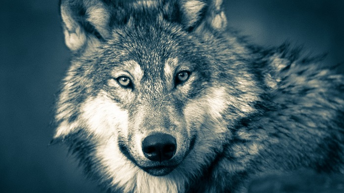 53ec9f675 Wolves have a special place in folklore of various peoples throughout human  history. How different people think about wolves varies depending on their  own ...