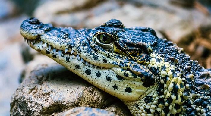 Dreams About Alligators, Crocodiles – Meaning and Interpretation