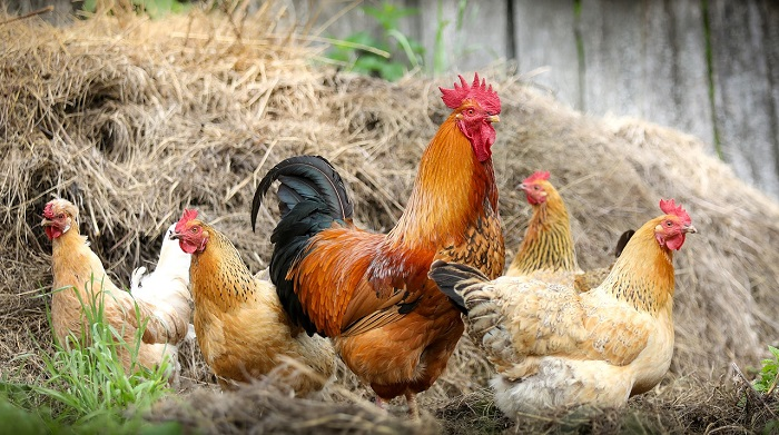Dreams About Chicken – Meaning and Interpretation