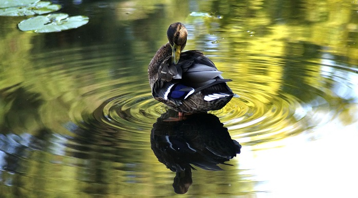 Duck Spirit Animal Totem Symbolism And Meaning