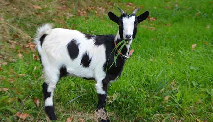 Goat – Spirit Animal, Totem, Symbolism and Meaning