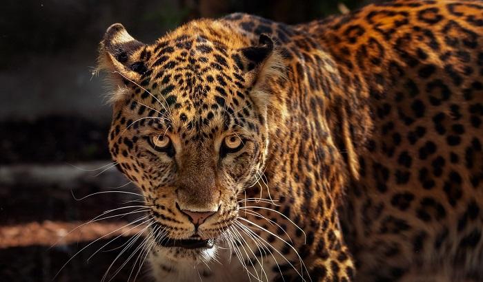 Jaguar – Spirit Animal, Totem, Symbolism and Meaning