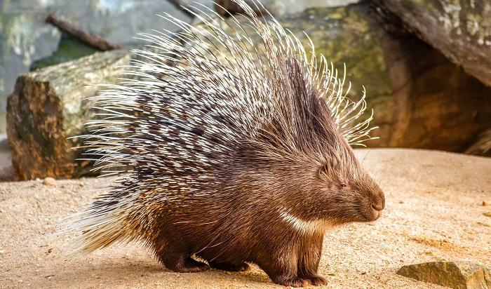 Porcupine – Spirit Animal, Totem, Symbolism and Meaning