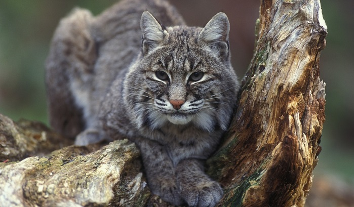 Bobcat - Spirit Animal, Totem, Symbolism and Meaning