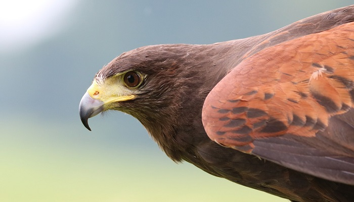 Hawk Symbolism in Christianity