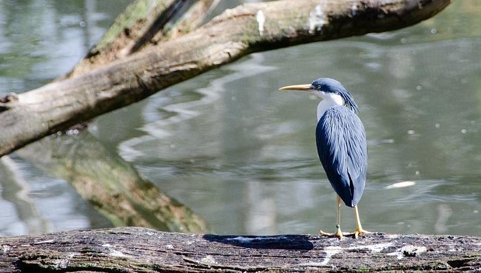 Heron Blue Bird Spirit Animal Totem Symbolism And Meaning