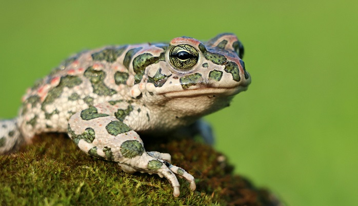Toad – Spirit Animal, Totem, Symbolism and Meaning