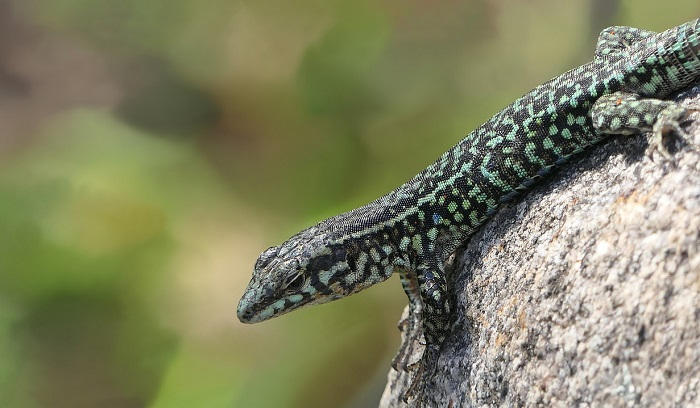 Dreams About Lizards – Meaning and Interpretation