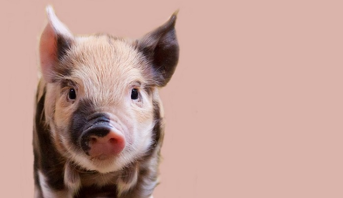 Dreams About Pigs – Interpretation and Meaning