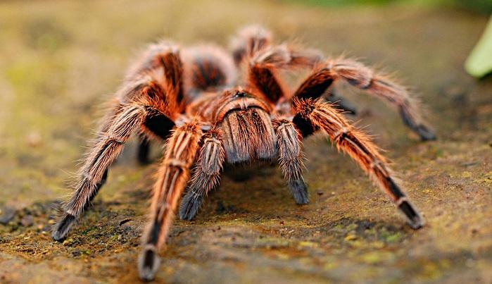 Dreams About Tarantula – Interpretation and Meaning