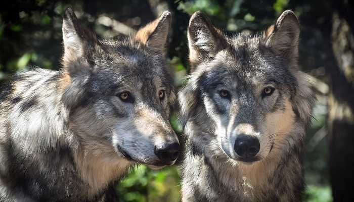 Dreams About Wolves Meaning And Interpretation