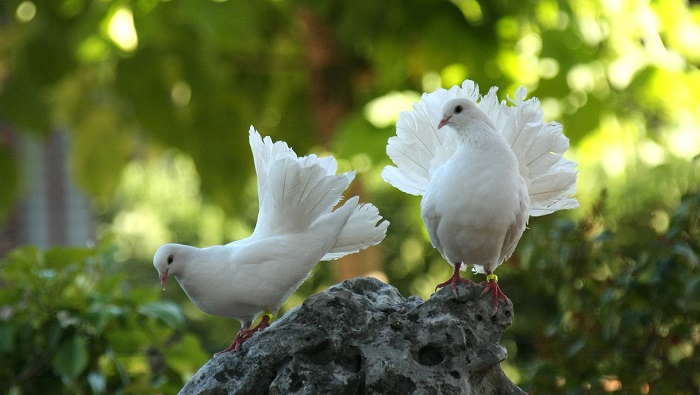Spiritual Meaning Of A Pair Of Doves
