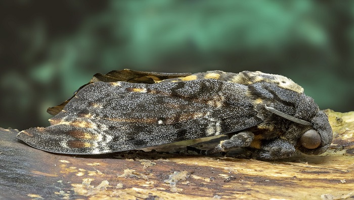 Death Moth – Meaning and Symbolism