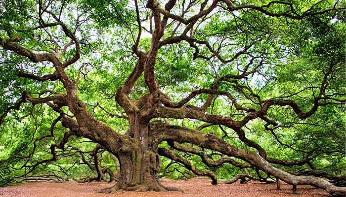 Oak Tree – Meaning and Symbolism