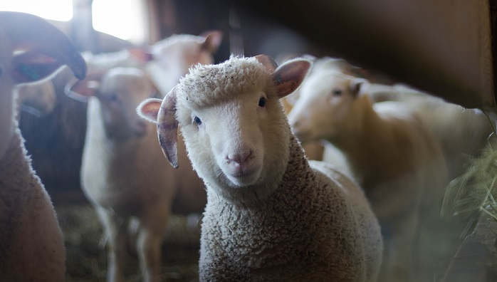 Sheep in Dream – Meaning and Symbolism